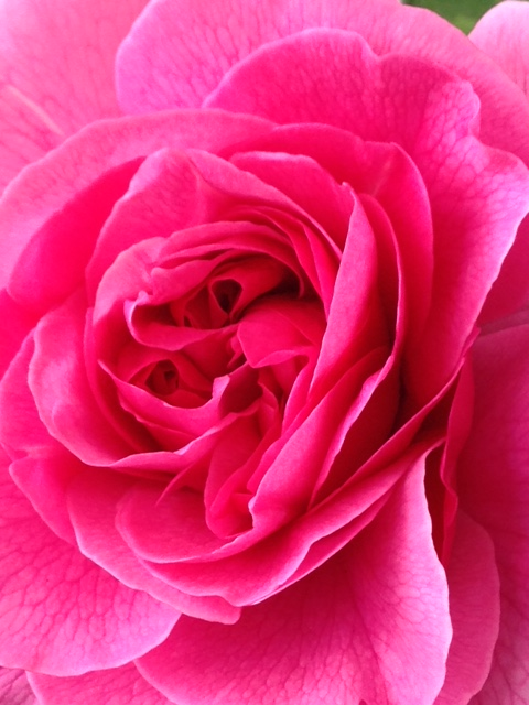Pink Roses and Scarlet Peonies