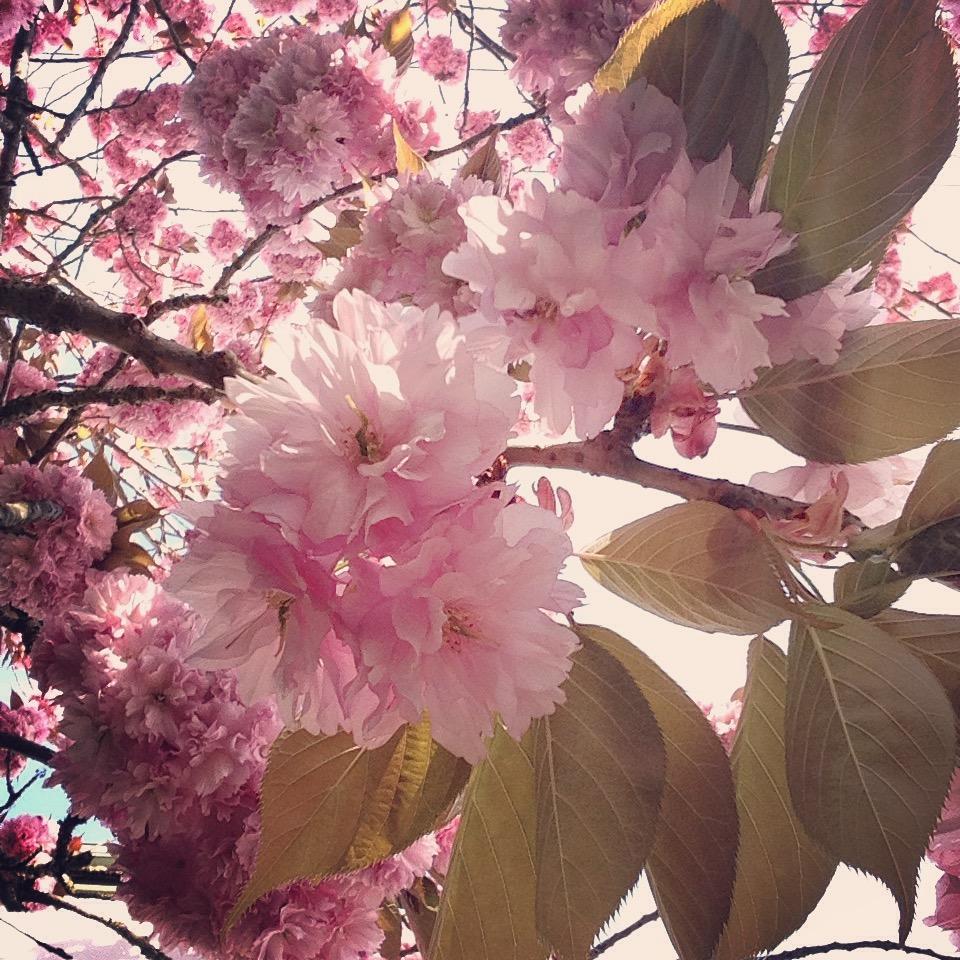 Cherry Blossom 3JPG