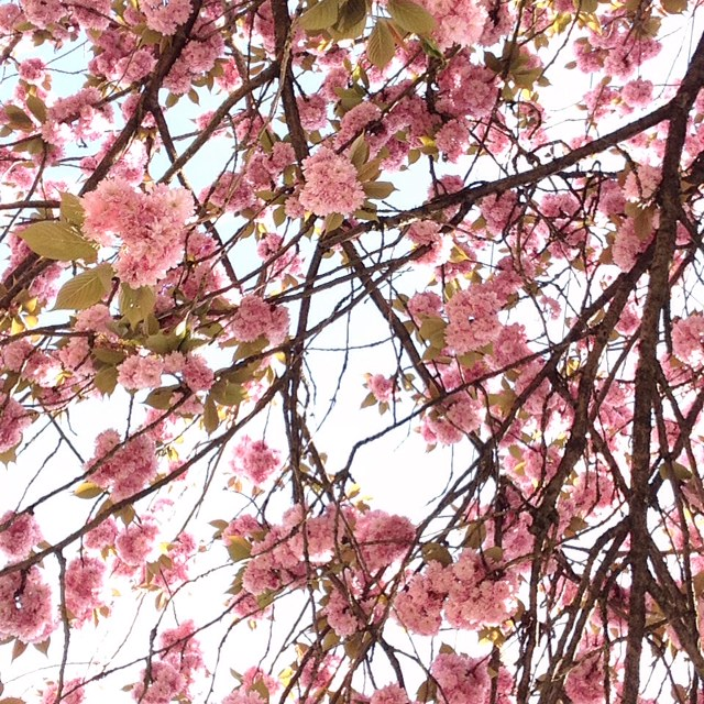 Cherryblossom Tree 2